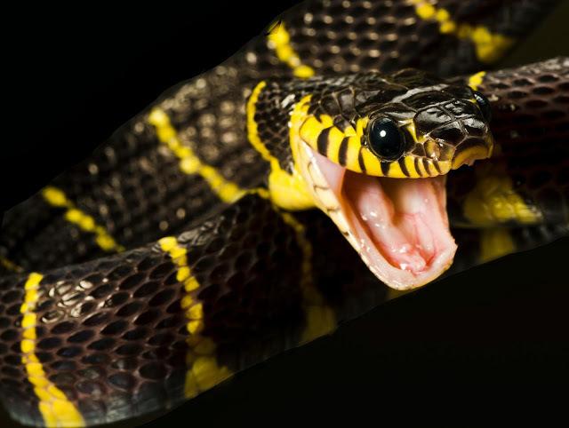 Mangrove-Snake.jpg